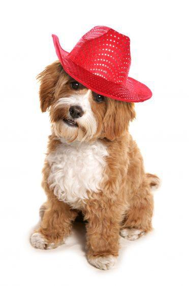 Cavapoo con sombrero de vaquero rojo