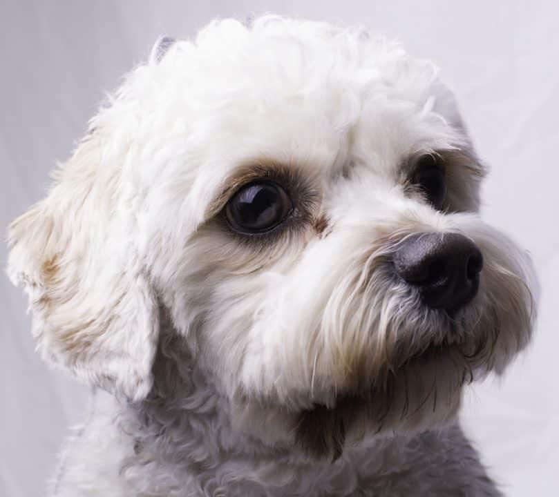 Cerrar retrato de un perro de juguete cavapoo.