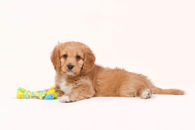 Cachorro cavapoo color albaricoque con un juguete recostada sobre un fondo blanco.