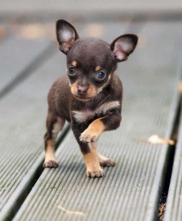 Teacup Chihuahua también conocido como Teacups o micro Chihuahua