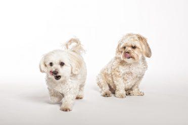 Cachorros Maltipoo y Morkie sobre fondo blanco.