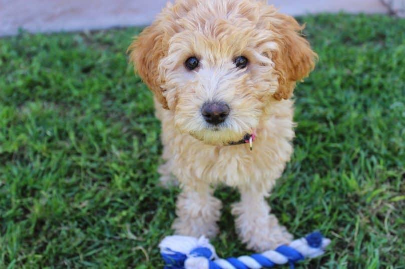 Lindo cachorro de Labradoodle con juguete