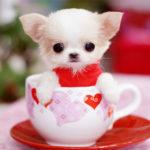 taza de té chihuahua