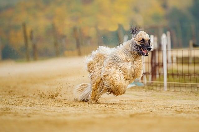 El Afgano está clasificado como la décima raza de perros más tonta por su falta de voluntad para obedecer y aprender.