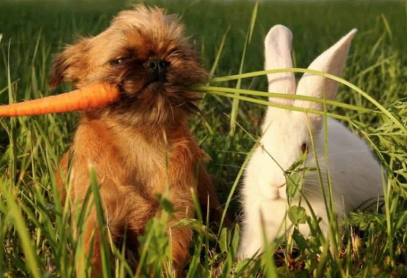 Dogs can only eat carrots when they are properly washed and shredded.