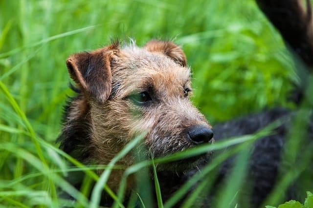 El Lakeland Terrier es un excelente perro de apartamento porque son relativamente tranquilos por naturaleza.