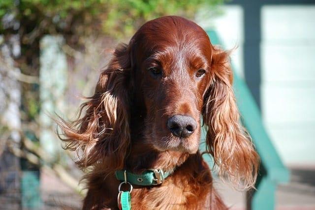 Los setters irlandeses son perros rojos de orejas largas.