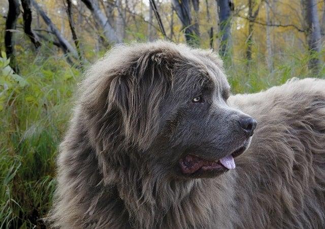 Newfoundlands son grandes perros de apartamentos grandes porque son muy pacientes con los niños. Además, nunca te ladrarán a ti ni a los niños.