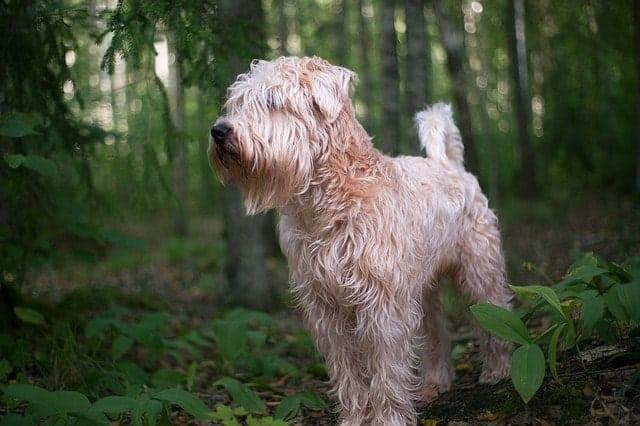Los Scottish Wheaten se han convertido cada vez más en perros de apartamentos populares porque son muy callados y respetuosos.
