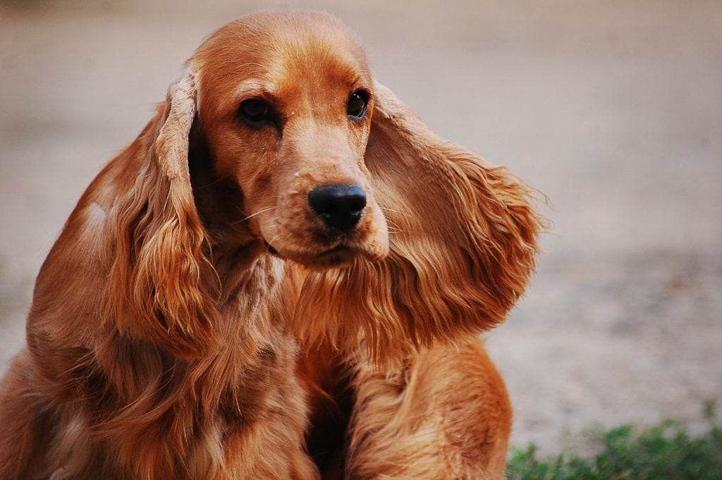 The English Cocker Spaniel is one of the most versatile dogs working with law enforcement groups.