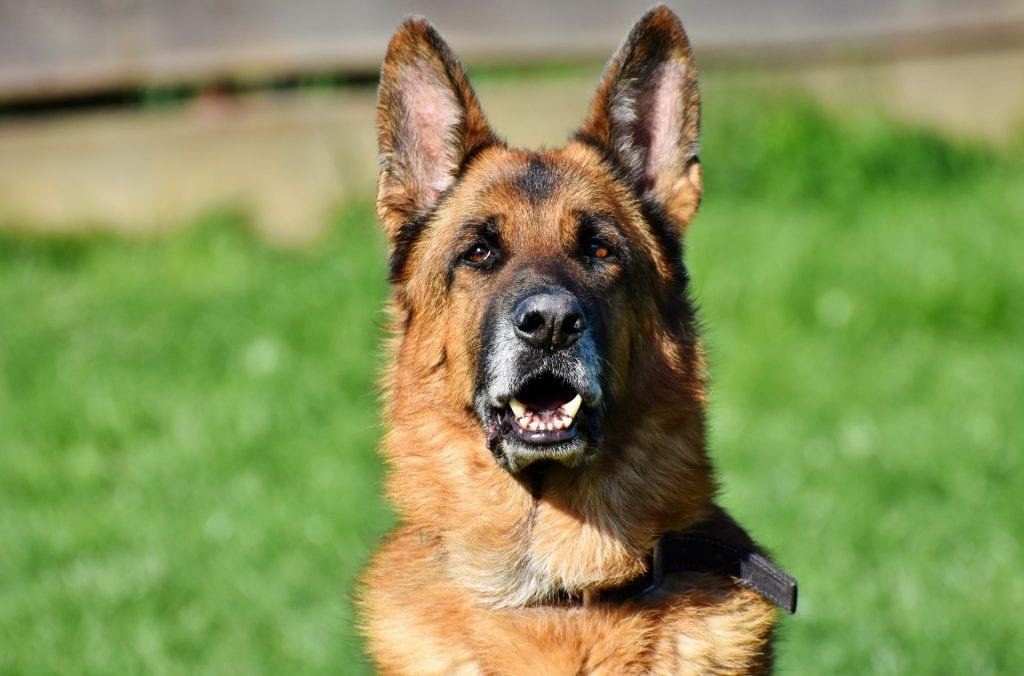 The german shepherd is the most popular dog breed used in both the police force and military.
