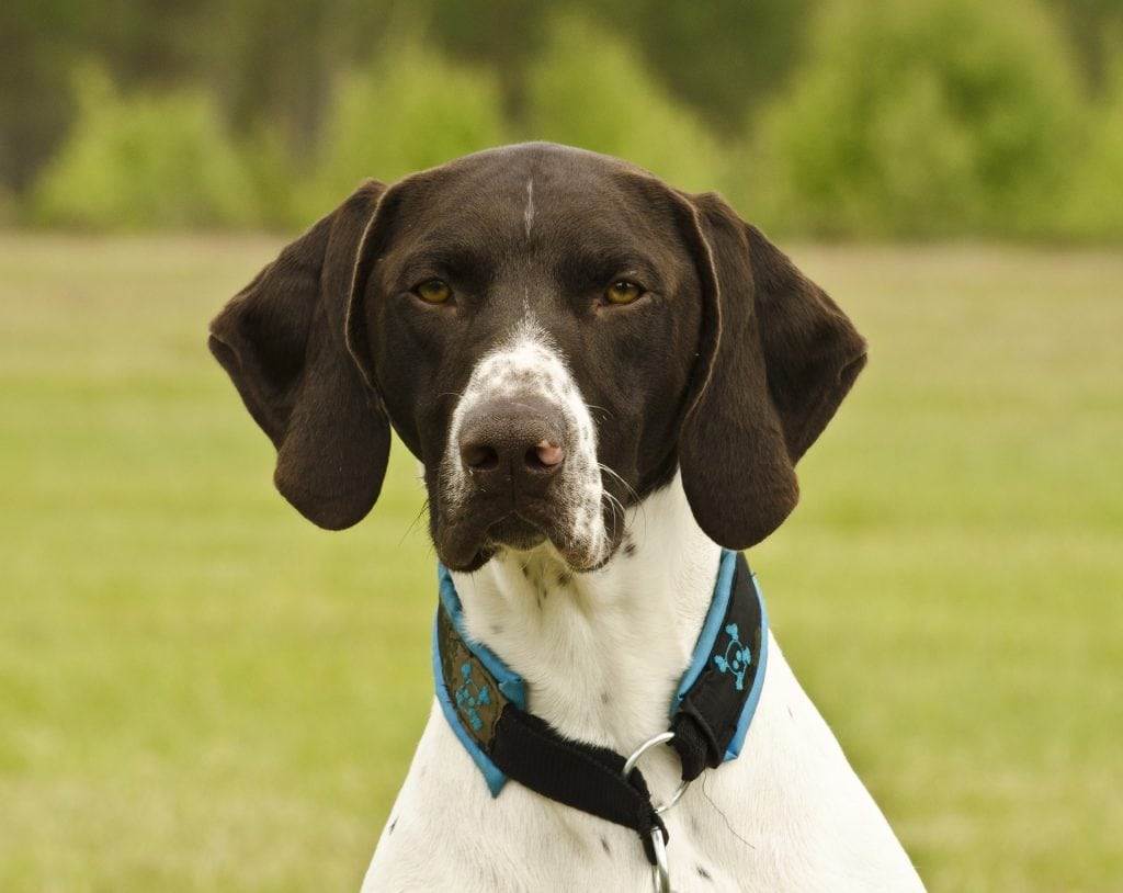 German shorthaired dogs work with police because of their acute sense of smell.