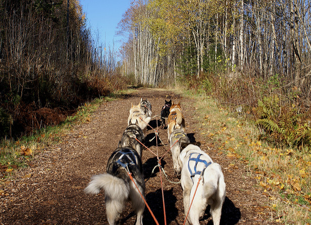 Paquete de Husky de Alaska