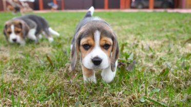 Beagle de bolsillo