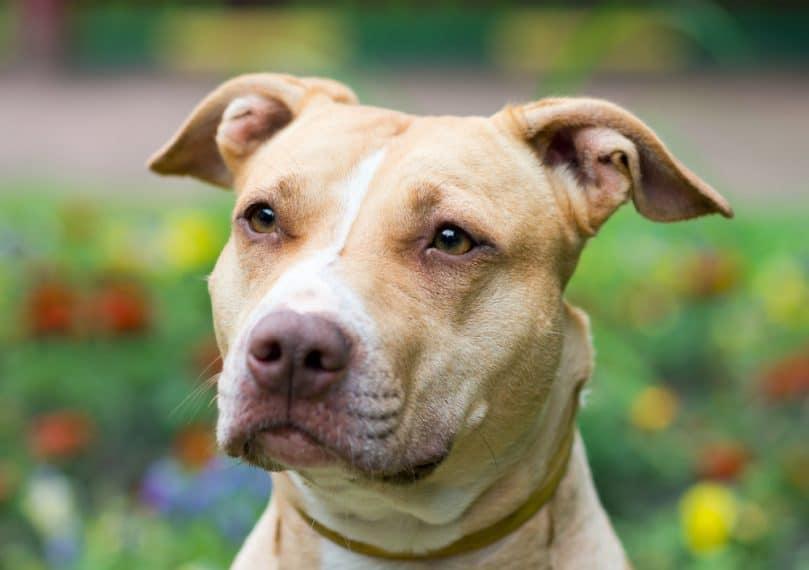 Retrato al aire libre de cerca American Pit Bull Terrier