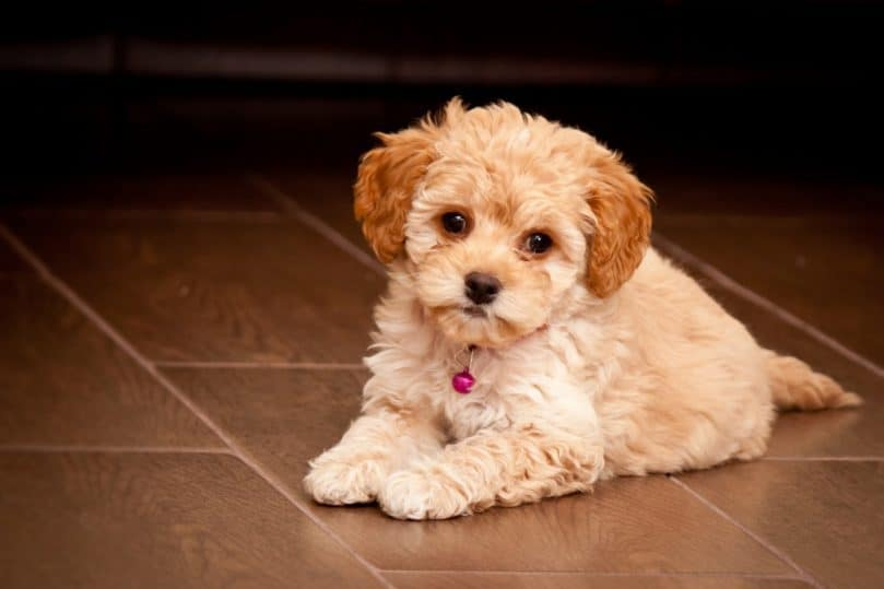Maltipoo puppy laying down